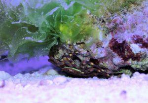 Krabbe am Stein