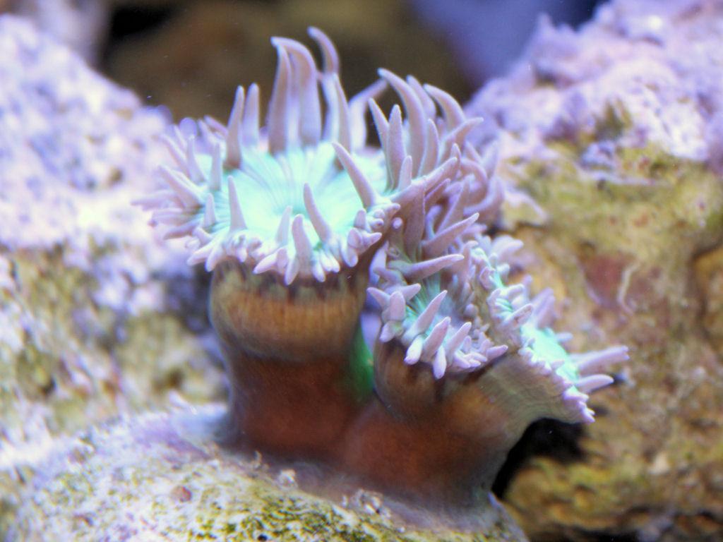 scheiben anemonen kümmern